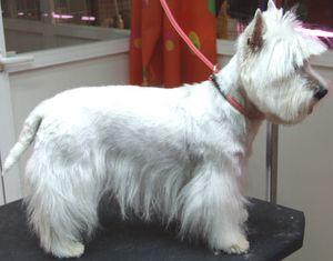 Corte de pelo westie terrier